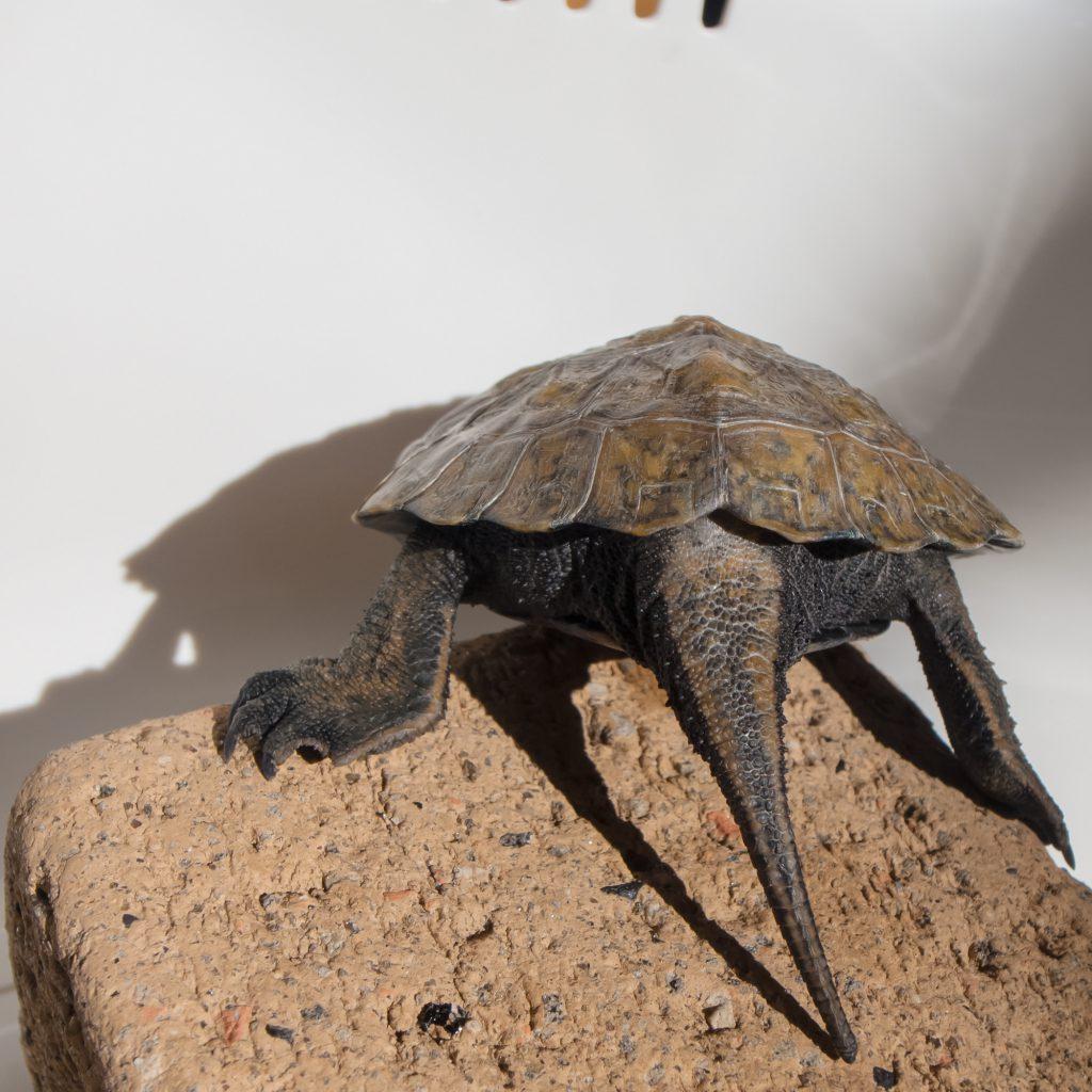 ニホンイシガメ尻尾