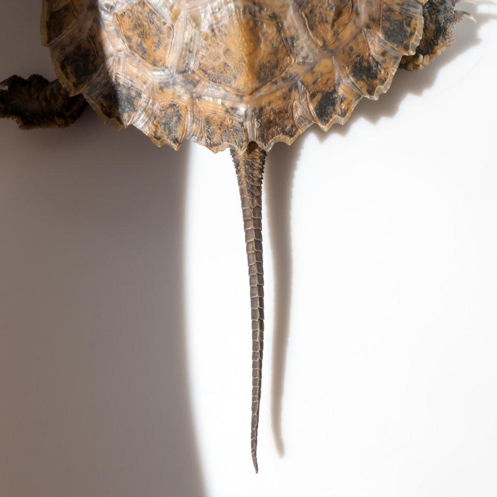 脱皮前の尻尾